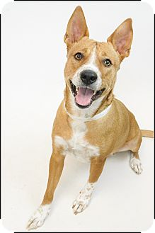 Basenji/Cattle Dog Mix Dog for adoption in Phoenix, Arizona - Honey