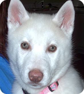 Akita/Husky Mix Puppy for adoption in Chesterfield, Michigan - Winter 2016 (m/c)