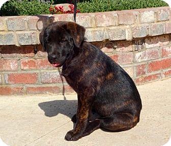 Shepherd (Unknown Type)/Labrador Retriever Mix Puppy for adoption in Lathrop, California - Sable