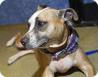 Basenji/Boxer Mix Dog for adoption in Bowie, Maryland - Adopted! Phoenix