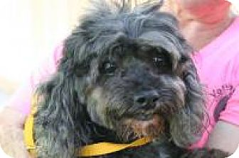 Cockapoo/Cockapoo Mix Dog for adoption in Houston, Texas - Seymoor (Benji)