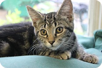 American Shorthair Cat for adoption in New Richmond,, Wisconsin - Tuffy