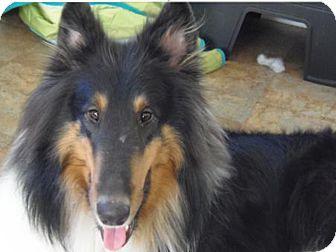 Collie Dog for adoption in S. Pasadena, California - Cody