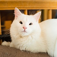 Adopt A Pet :: Winter Frostmoon - Burbank, CA