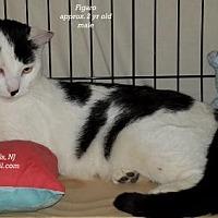 Adopt A Pet :: Figaro - Marlboro, NJ