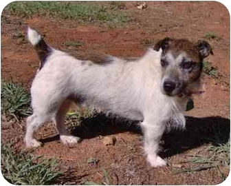 Jack Russell Terrier Dog for adoption in Inman, South Carolina - Chester