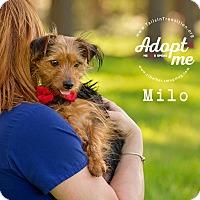 Adopt A Pet :: Milo - Friendswood, TX