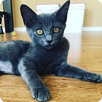 Domestic Shorthair Kitten for adoption in Los Angeles, California - Kit