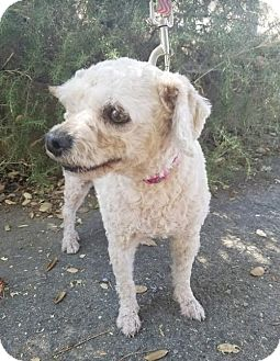 Poodle (Miniature) Mix Dog for adoption in San Diego, California - Milly