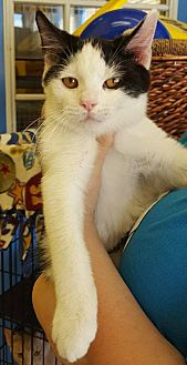 Domestic Mediumhair Cat for adoption in Mt Vernon, Indiana - Beast