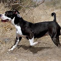 Adopt A Pet :: Leia - Las Vegas, NV