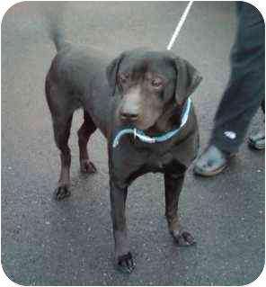 Labrador Retriever Mix Dog for adoption in Seattle, Washington - Clancey
