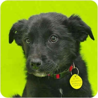 Border Collie/Shepherd (Unknown Type) Mix Puppy for adoption in Westminster, Colorado - KUMQUAT