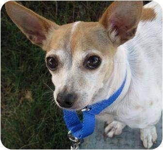 Chihuahua Mix Dog for adoption in Sacramento, California - Tipsy
