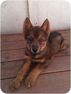 Husky Mix Puppy for adoption in Wasilla, Alaska - Colin