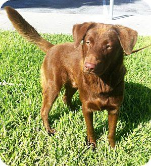 Labrador Retriever Mix Dog for adoption in Miami, Florida - Coki