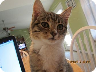 American Shorthair Kitten for adoption in Bunnell, Florida - Honey Boo Boo