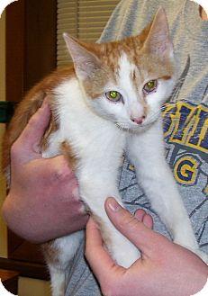 Domestic Shorthair Kitten for adoption in Somerset, Pennsylvania - Trenton