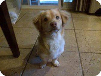 Dachshund Mix Dog for adoption in Las Vegas, Nevada - Charlie