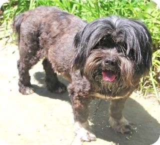 Lhasa Apso/Havanese Mix Dog for adoption in Norwalk, Connecticut - Phyllis - adoption pending