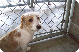 Terrier (Unknown Type, Small) Mix Dog for adoption in muskogee, Oklahoma - sallie