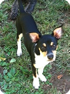 Rat Terrier Mix Dog for adoption in Staunton, Virginia - Andy