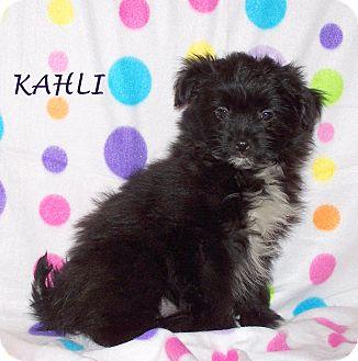 Pomeranian/Shih Tzu Mix Puppy for adoption in Milford, New Jersey - Kahli
