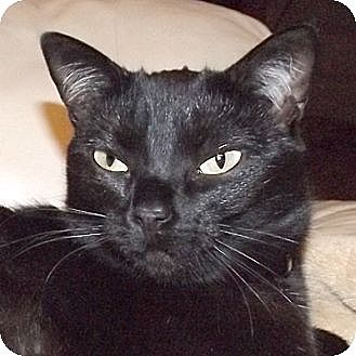 Domestic Shorthair Cat for adoption in Huntley, Illinois - Luna