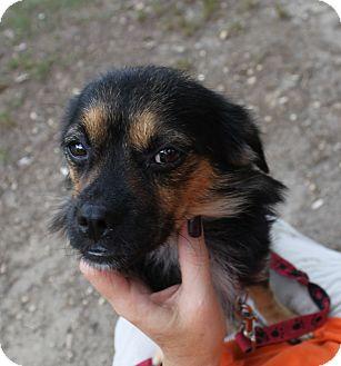 Pekingese Mix Dog for adoption in Waldorf, Maryland - Betsy