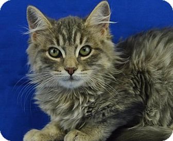 Domestic Longhair Kitten for adoption in LAFAYETTE, Louisiana - PUDDIN
