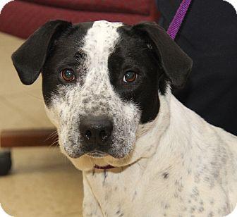 Pointer/Blue Heeler Mix Dog for adoption in Marietta, Ohio - Layla (Spayed)