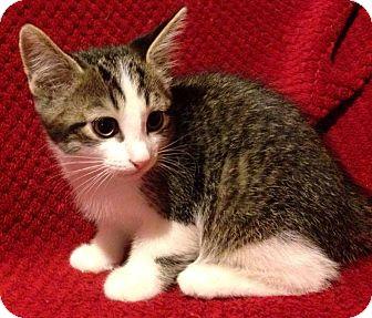 Domestic Shorthair Kitten for adoption in Woodstock, Ontario - Jagger