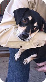 Pug/Beagle Mix Dog for adoption in Brick, New Jersey - Nina