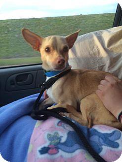 Chihuahua Mix Dog for adoption in Duchess, Alberta - John Wayne