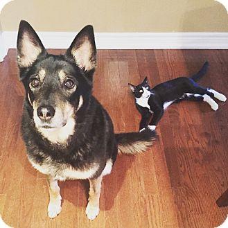 German Shepherd Dog/Siberian Husky Mix Dog for adoption in Whitby, Ontario - Sim