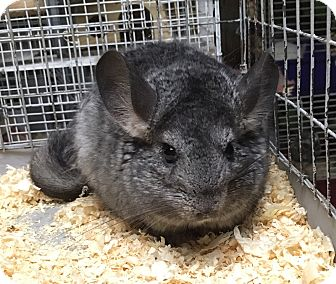 Chinchilla for adoption in Hammond, Indiana - Lumpy