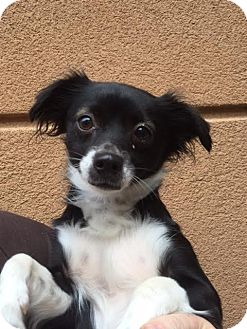 Chihuahua Mix Dog for adoption in Westminster, California - Marcy