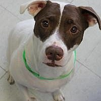 American Staffordshire Terrier Mix Dog for adoption in Yukon, Oklahoma - Chocolate Chip
