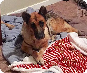 German Shepherd Dog Mix Dog for adoption in Phoenix, Arizona - Cashmere