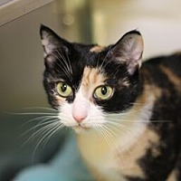 Domestic Shorthair Cat for adoption in Raleigh, North Carolina - Patience