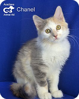 Domestic Mediumhair Cat for adoption in Carencro, Louisiana - Chanel