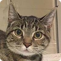 Adopt A Pet :: Kit Kat - Springdale, AR