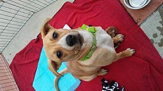 Labrador Retriever Mix Dog for adoption in Mission Viejo, California - Honey Bee