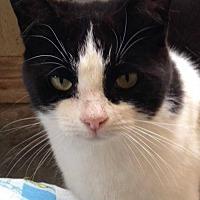 Adopt A Pet :: Mitaine 2 - Hamilton, ON