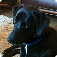 Adopt A Pet :: Cooper - Bedford Hills, NY