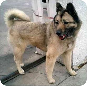 Norwegian Elkhound Dog for adoption in Los Angeles, California - Brynn