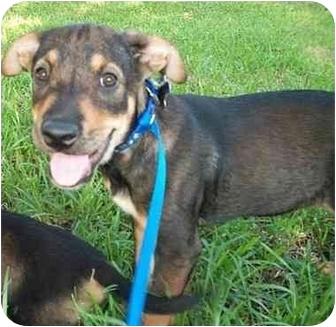 Labrador Retriever/Shepherd (Unknown Type) Mix Puppy for adoption in Houston, Texas - DeSoto