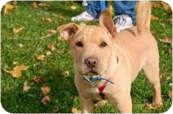 Shar Pei/Shepherd (Unknown Type) Mix Puppy for adoption in Avon, New York - Pumpkin