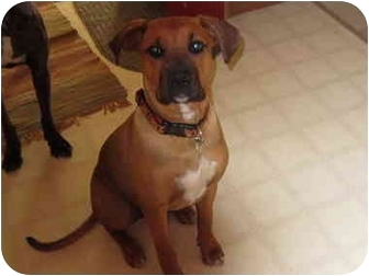 Boxer Mix Puppy for adoption in Bloomsburg, Pennsylvania - Tara
