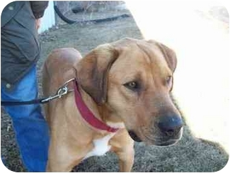 Labrador Retriever Mix Dog for adoption in Tipton, Iowa - Ricky